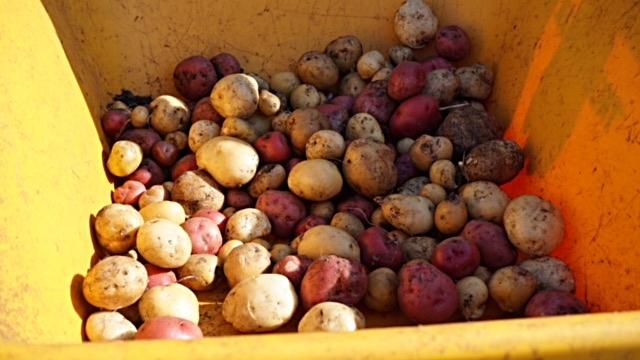 Potatoe Harvest 1.JPG