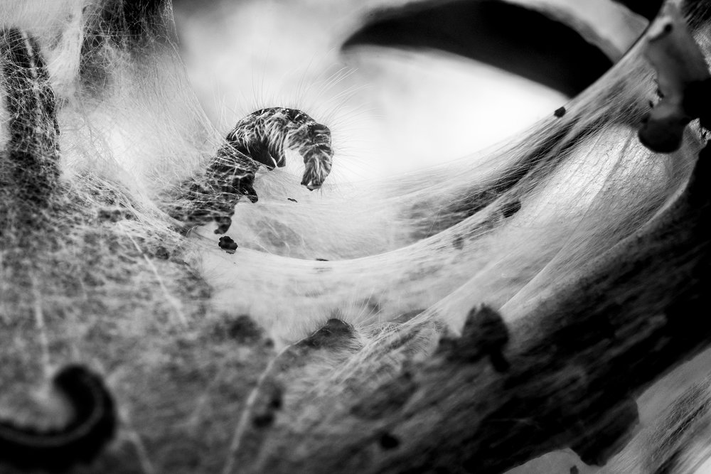 Eastern Tent Caterpillar interacting with silk nest | Photography by Jonathan Carroll