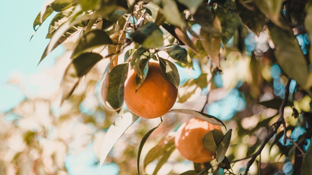 vesela-vaclavikova-566100-unsplash-orange-tree.jpg