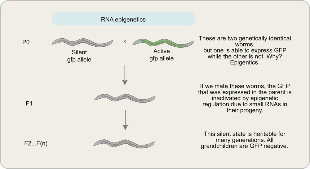 Interested in learning more about epigenetics? We don't blame you, it's a super cool topic! Here's a great basic   primer   on epigenetics that anyone can read and understand (even you, non-scientist friends!).