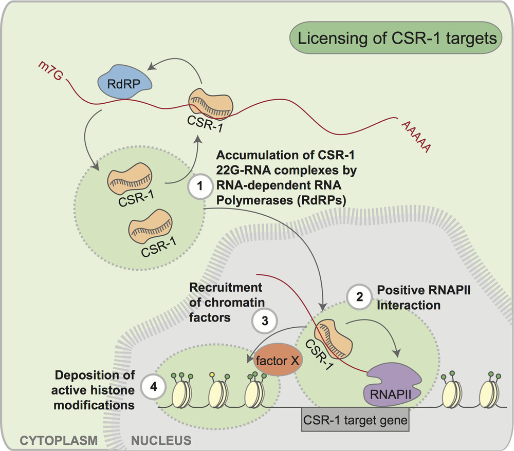 CSR-1 is an extremely interesting AGO protein. To learn more about CSR-1, check out this   review   by Chris, Monica and JC. To learn more about how CSR-1 antagonizes the piRNA pathway to promote germline gene expression, check out this   commentary   by Chris, Monica and JC.
