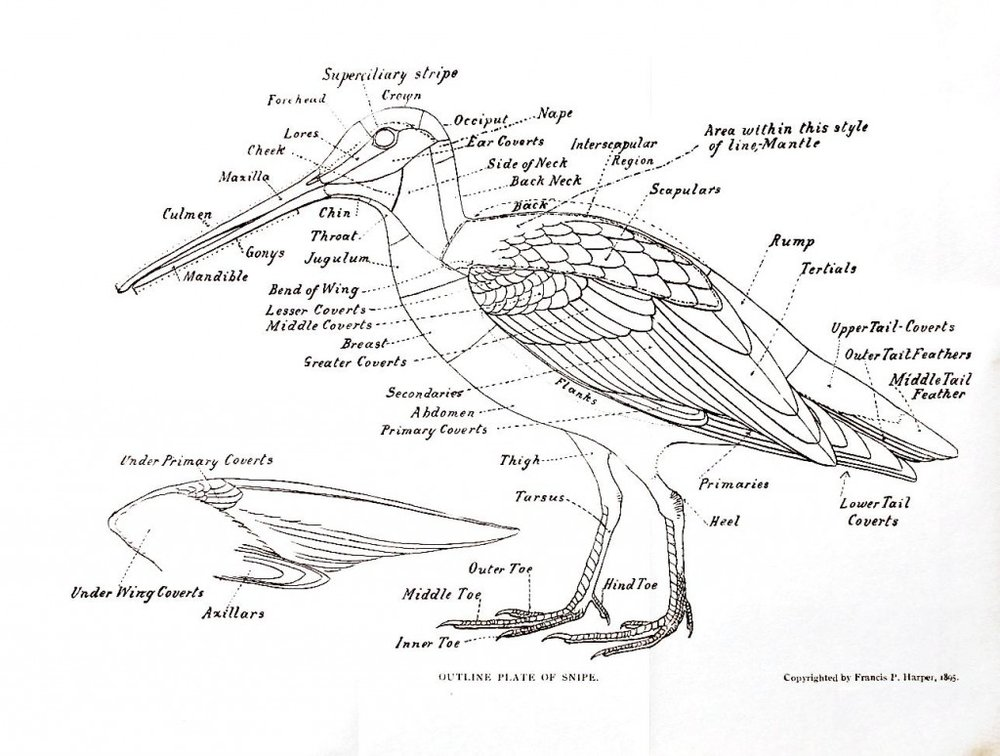 Animal-Bird-Anatomy-of-a-snipe-1024x774.jpg