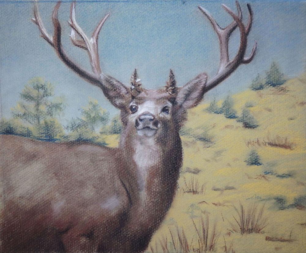 """""""Mule Deer""""  Charcoal & conté on paper 8 1/4""""x 10"""""""