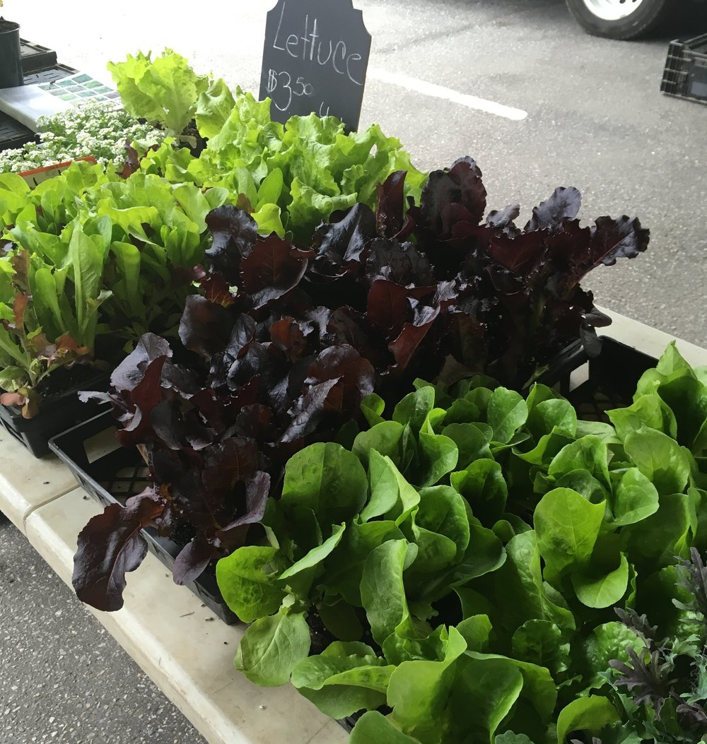 Lettuce for sale at an urban farmer's market. Spring 2018.