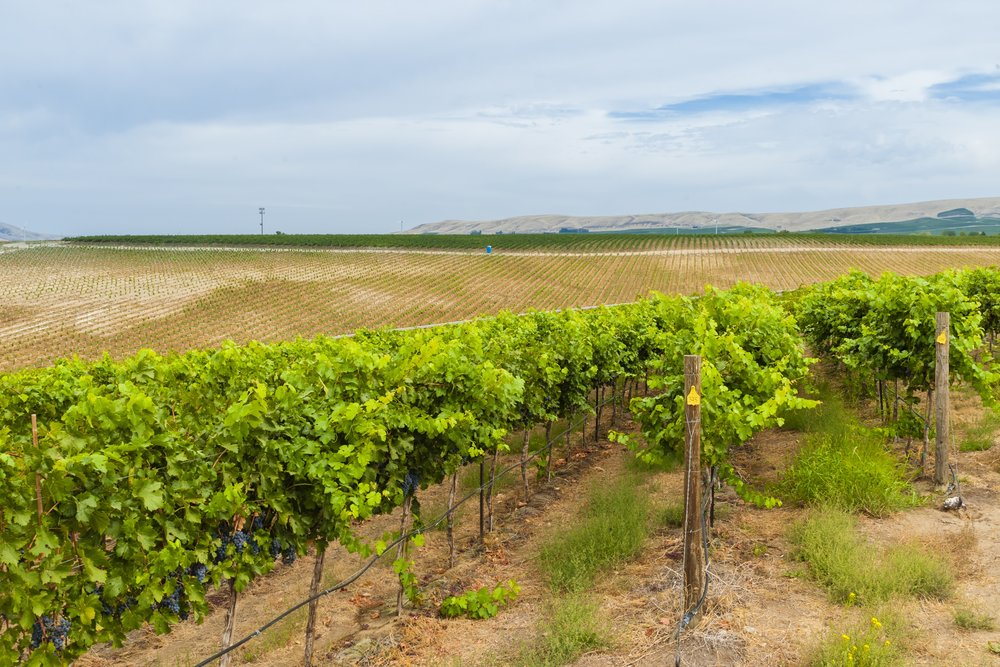 Angelas Vineyard.jpg
