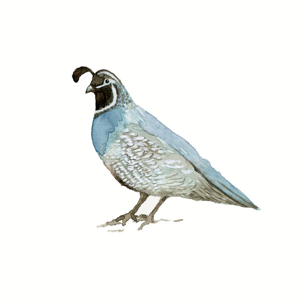 quail001.jpg