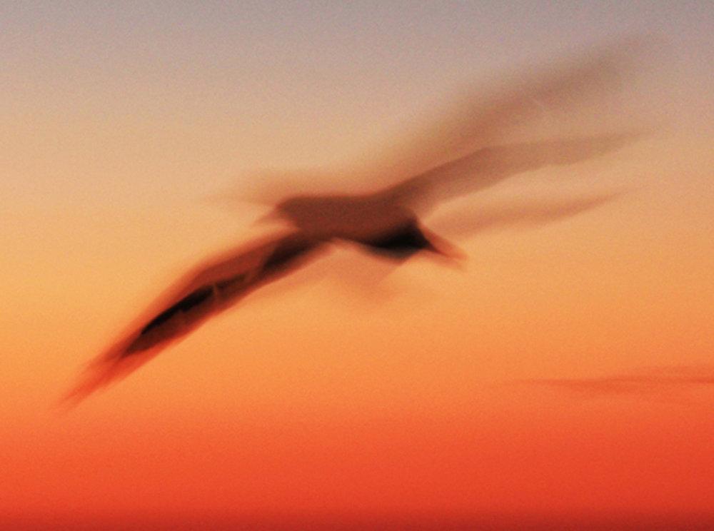 Sunset Gannet