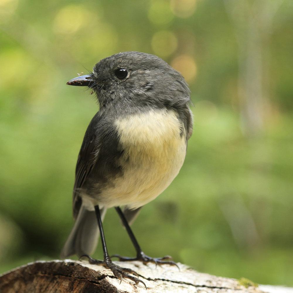 S.island robin