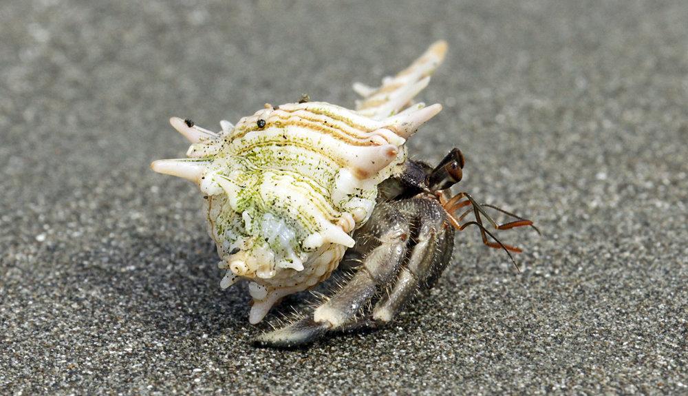 `Hermit Crab