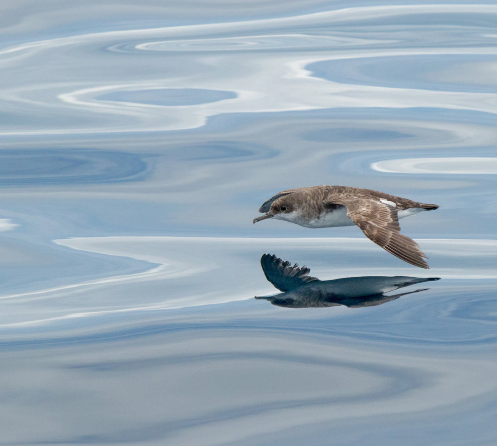 Shearwater reflection