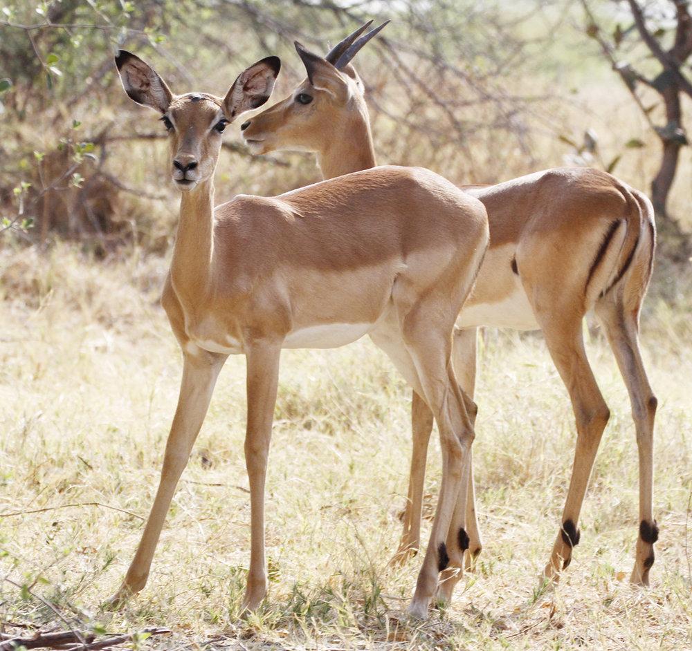 Wary springbok