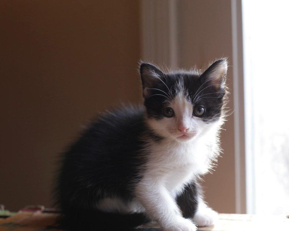 black-white-tuxedo-kitten-sitting-in-window-sill-redlands-foster-cats