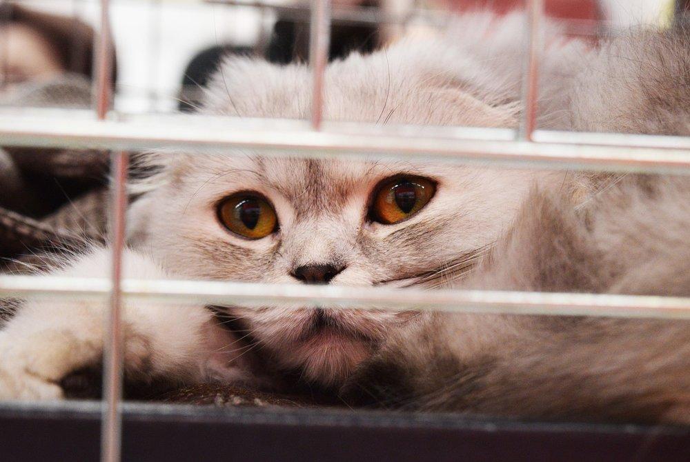 fluffy-grey-cat-shelter-redlands-foster-cats-pixabay