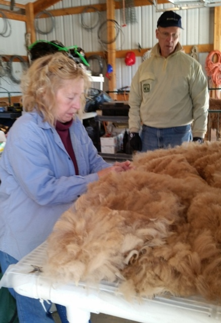 Skirting the blanket fiber:   Pulling out coarser fibers, grasses, straw and  second cuts so that only the finest of the alpaca fiber is left. This fiber will be made into yarn or clothing.