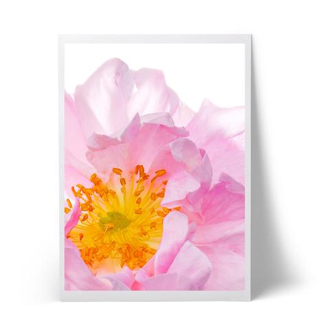 rose_large.jpg