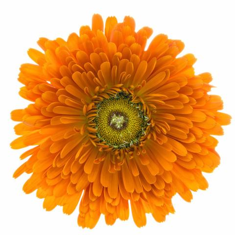 1510_Single_Swe_Flower_Ringblomma_large.jpg