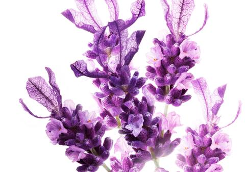 Flower_frontpage_lavendel_large.jpg