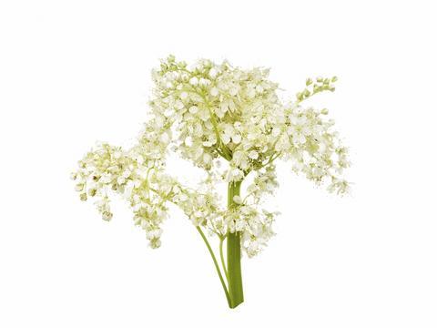 1510_Single_Swe_Flower_Vit-blomma_large.jpg