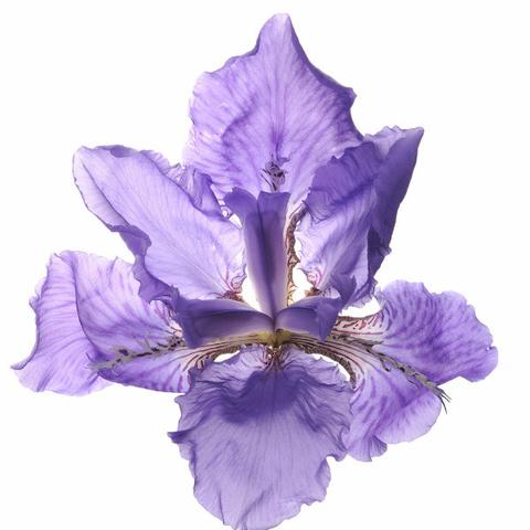 1510_Single_French_Flower_Iris_large.jpg