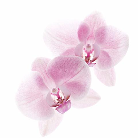 1510_Single_French_Flower_Orchide_large.jpg