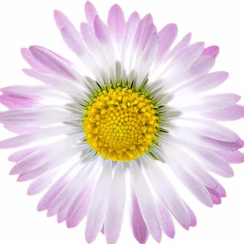 1510_Single_Swe_Flower_Bellis_large.jpg