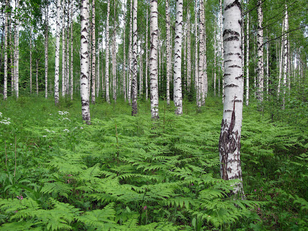 Header_birch_forest resized.jpeg