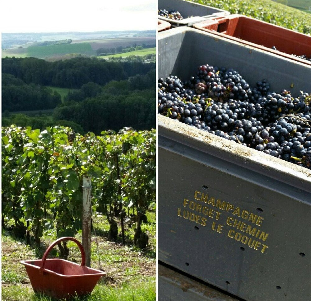 vendanges forget (2).jpg