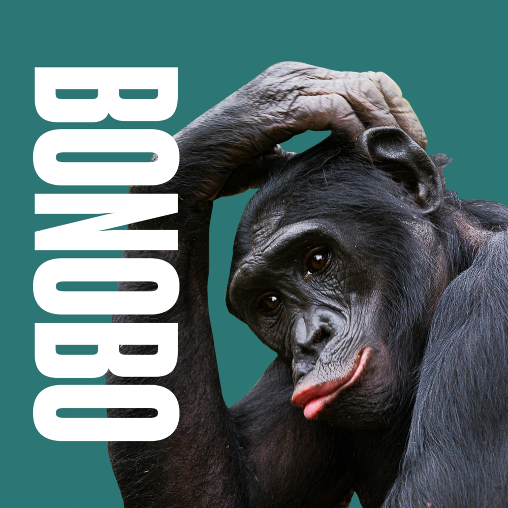 Animal inspiration Bonobo.png