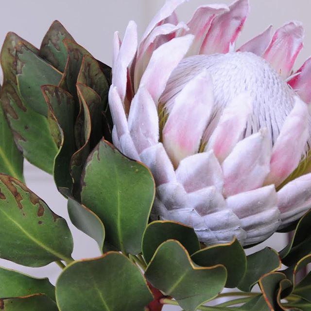 La beauté d'une fleur protea en détail 👁 - #inspiration #flower #lilac #lila #love #protea #detail #closeup #natural #beauty #sunday #mood #colourplay