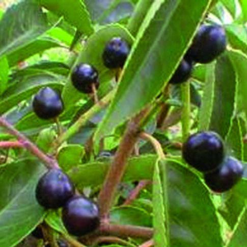 Prunus lusitanica fruit color summer