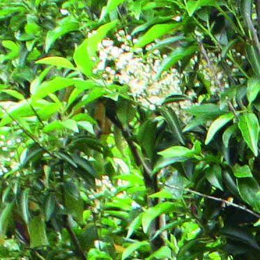 Prunus lusitanica flower bloom spring