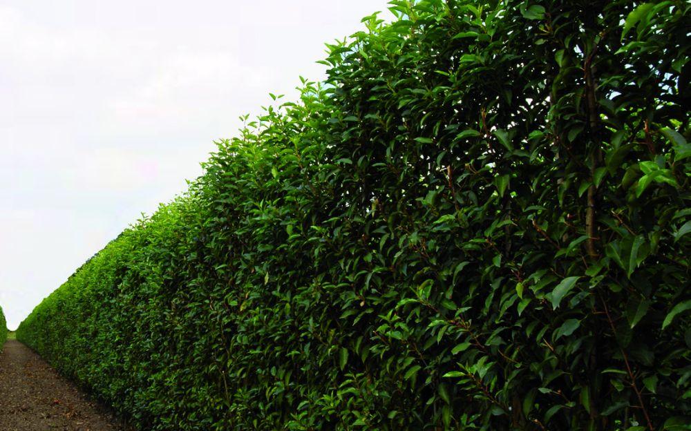 Prunus lusitanica laurel Instant hedge