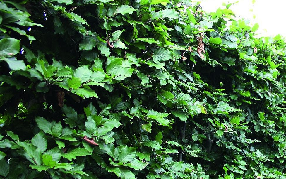 Fagus sylvatica Summer foliage dark green