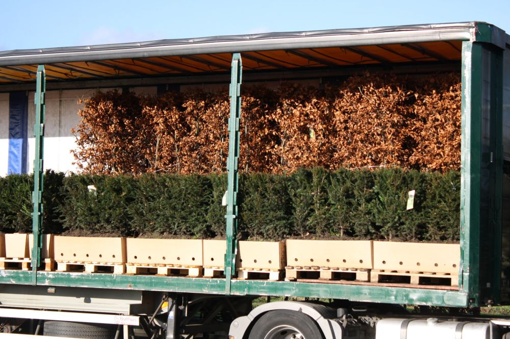 Fagus sylvatica staging harvested - hedge units on truck ready to ship