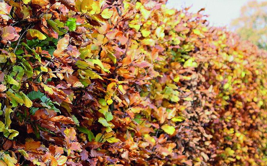 Fagus sylvatica fall color yellow and bronze