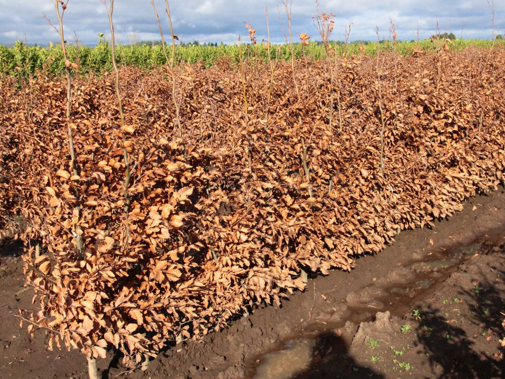 Fagus sylvatica staging harvested - InstantHedge row in winter