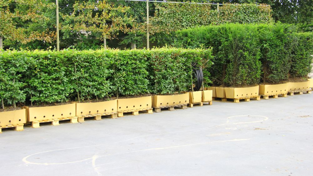 Staging of Fagus and Taxus - sam image - yew beech hedge units on pallets ready to ship in cardboard