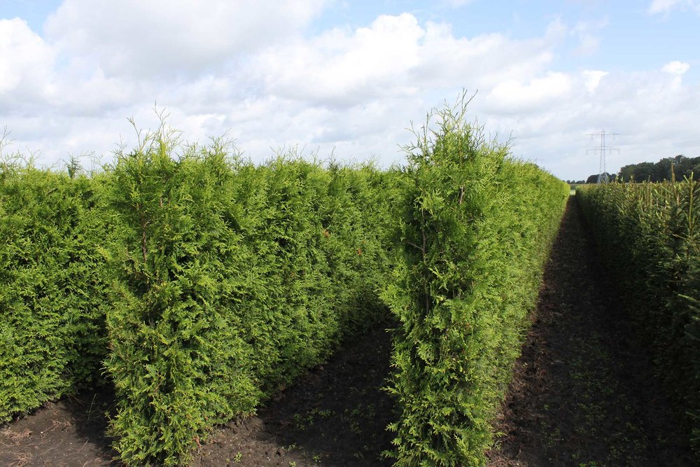 Thuja occidentalis - Arborvitae Field InstantHedge units ready for harvest