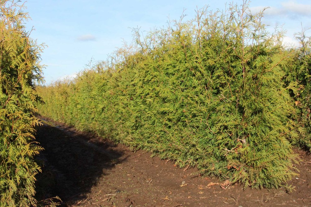 Thuja occidentalis - hedge row in ground 5 feet