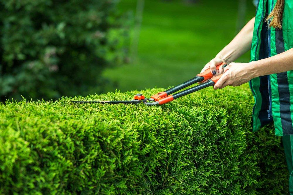 Thuja occidentalis pruning FAQ