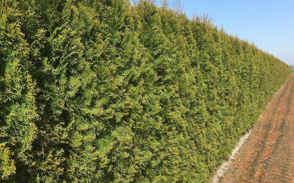 Thuja occidentalis Smaragd Winter Emerald Green