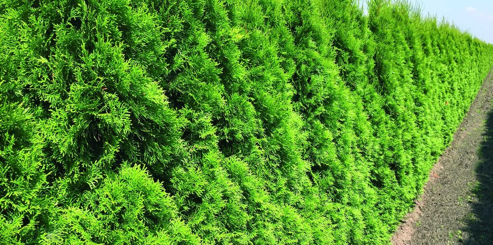 Thuja occidentalis smaragd Emerald Green row