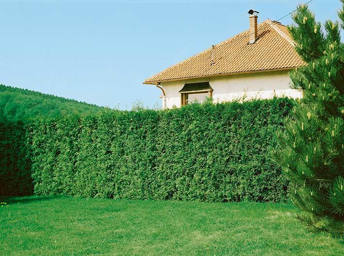 Thuja Emerald Green Smaragd residential suburban