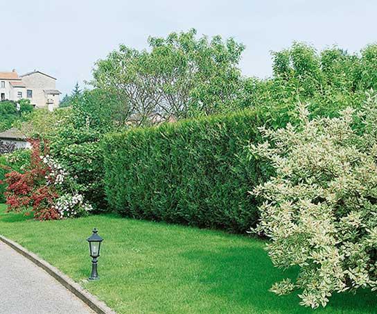 Thuja VirescensSuburban park driveway estate