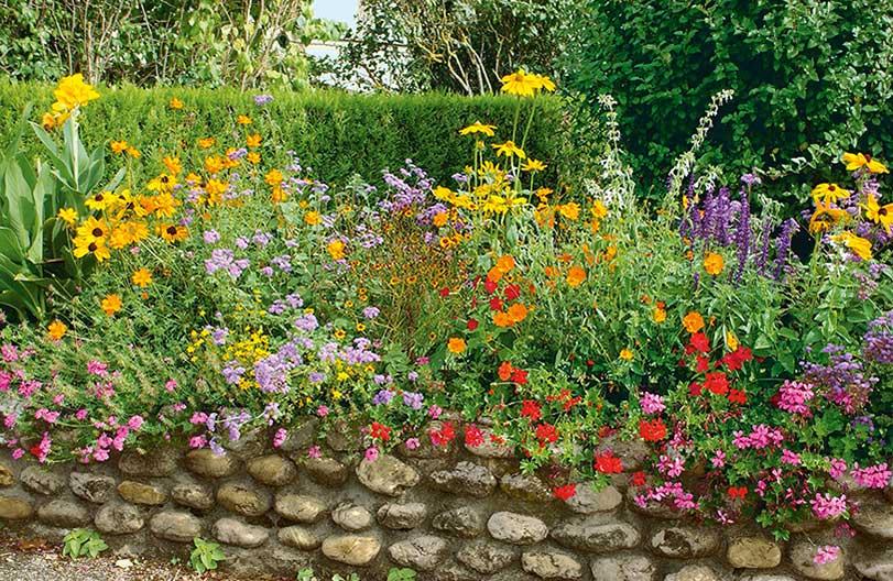 Thuja Virescens arborvitae country garden