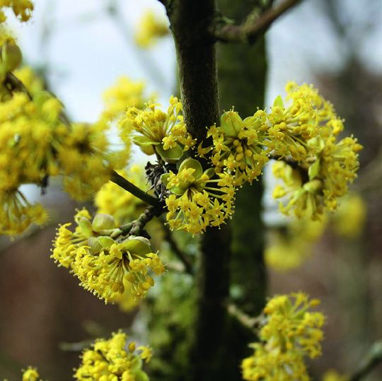 Cornus mas spring bloom yellow flower