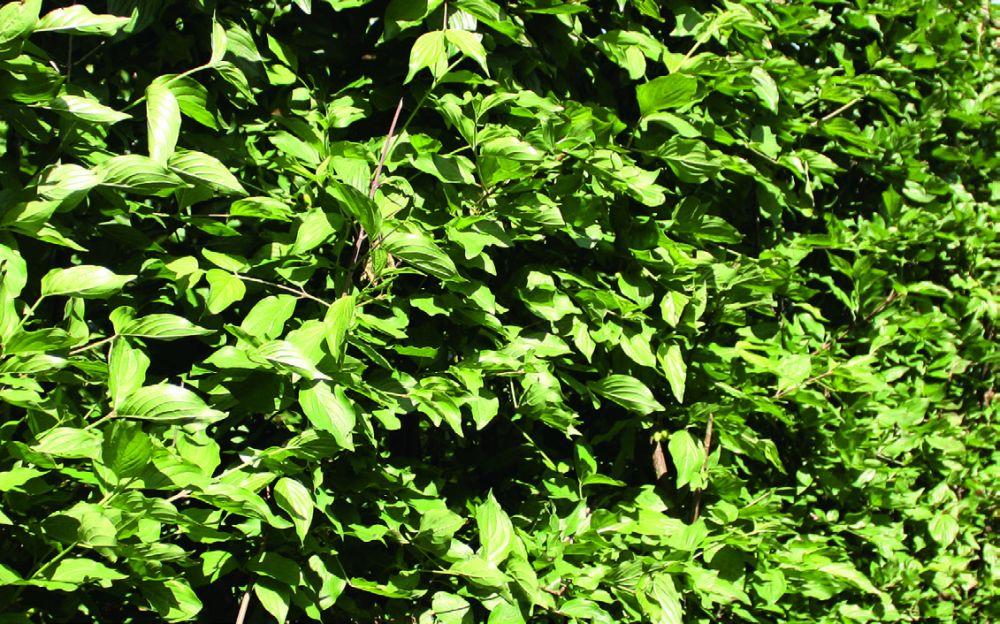 Cornus mas summer foliage