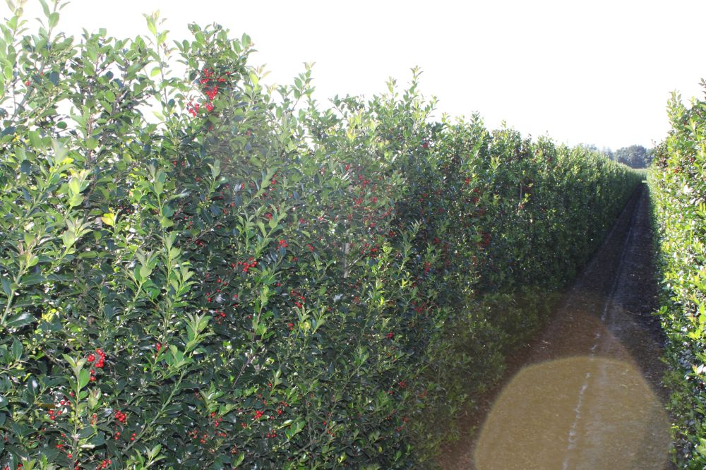 Holly hedge row