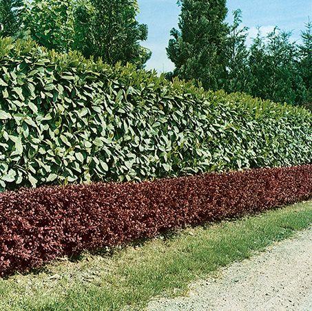 Prunus laurocerasus driveway street
