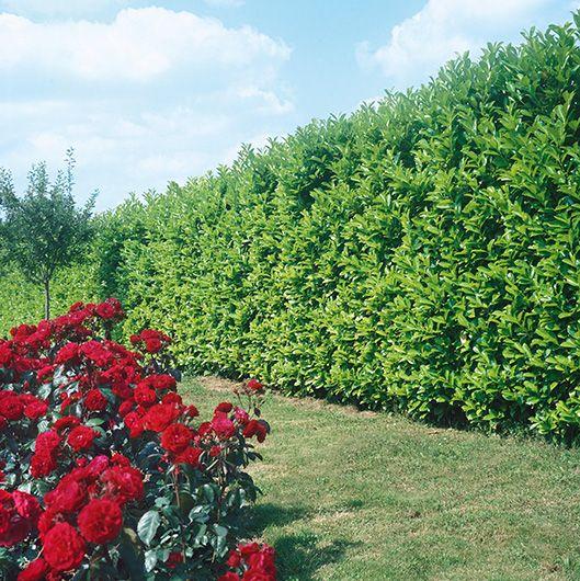 Prunus laurocerasus lawn